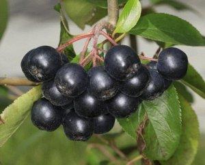 Арония (рябина) черноплодная Неро