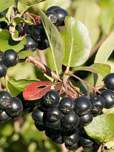 Гортензия, плодовые, декоративные,хвойные саженцы.Предзаказ — Саженцы ягодные.Арония (рябина) — Плодово-ягодные