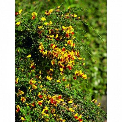 Гортензия, плодовые, декоративные,хвойные саженцы.Предзаказ — Ракитник — Декоративноцветущие