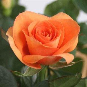 Роза персткова Бью Монд