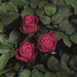 Роза чайно-гибридная Адмирал