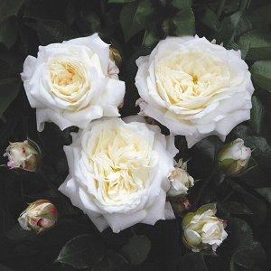 Роза флорибунда Алабастер