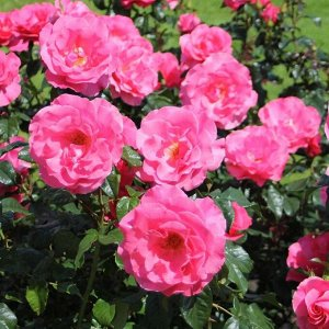 Роза парковая Романц