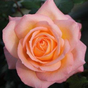 Роза чайно-гибридная Фросинн 82