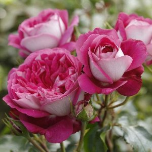 Роза чайно-гибридная Максим