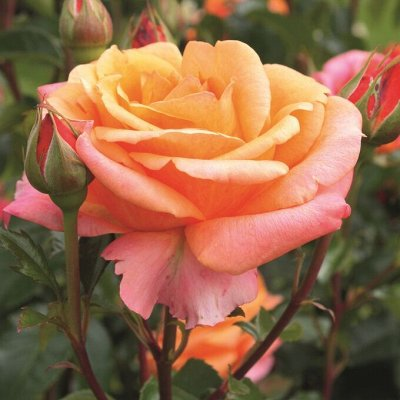 Rosen Tantau!! Зимостойкие!Предоплата 30% В литровых пакета — Duftwolke collection® - Облако аромата — Декоративноцветущие