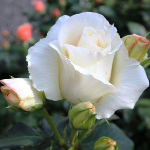 Роза плетистая Шнееуолзер