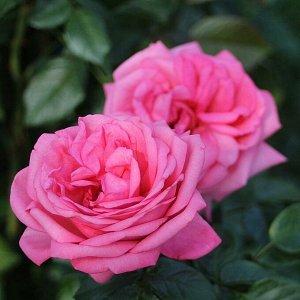Роза чайно-гибридная Ромина