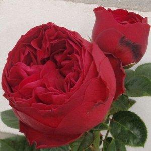 Роза чайно-гибридная Роял Пиано
