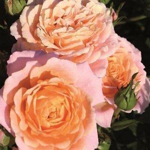 Роза миниатюрная Пич Клементин