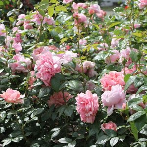 Роза чайно-гибридная Шоне Мэйд