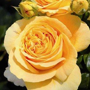 Роза чайно-гибридная Кендллайт