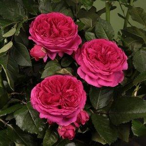 Роза чайно-гибридная Софи Луизе