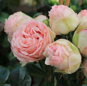 Роза чайно-гибридная Шарминг Пьяно