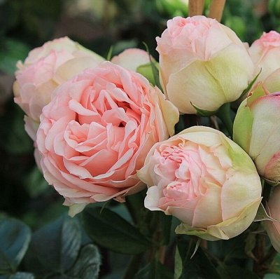 Rosen Tantau!! Зимостойкие!Предоплата 30% В литровых пакета — Nostalgic roses® - Ностальгические розы — Декоративноцветущие