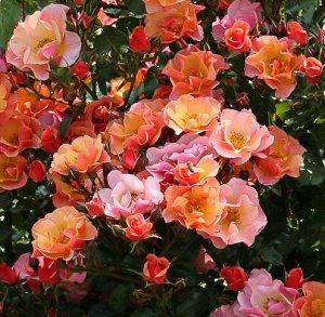 Роза почвопокровная Джазз