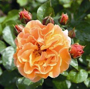 Роза парковая Арабия