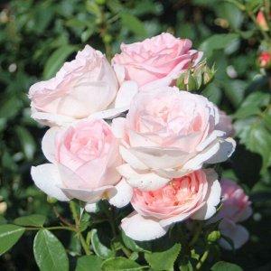 Роза чайно-гибридная Вояж