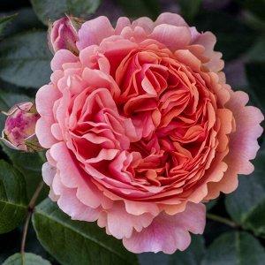 Роза чайно-гибридная Чипэндэйл