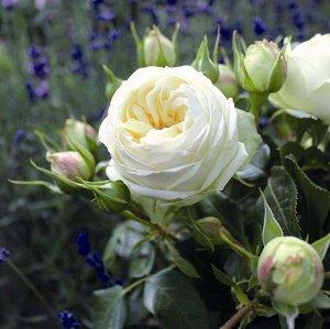 Роза чайно-гибридная Уэддинг Пьяно