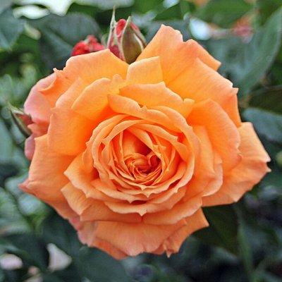 Rosen Tantau!! Зимостойкие!Предоплата 30% В литровых пакета — Accent® - Часто-цветущие розы — Декоративноцветущие