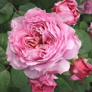 Роза чайно-гибридная Эйсвогель