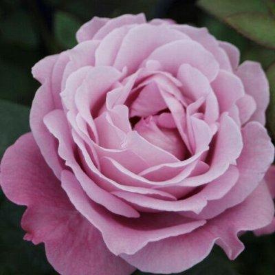 Rosen Tantau!! Зимостойкие!Предоплата 30% В литровых пакета — Flower Rain®- Коллекция Цветочный Дождь — Декоративноцветущие