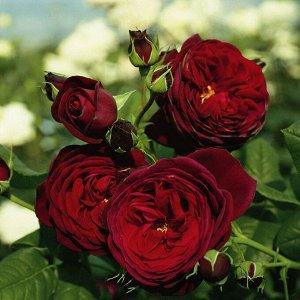 Роза парковая Графиня Фон Харденберг