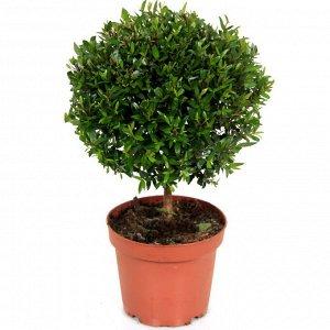Мирт Диаметр горшка: 14 см Высота примерно 30 см  Миртовое дерево — одно из самых привлекательных и интересных комнатных растений. Приятный аромат, красивое цветение, легкость формировки, высокая деко
