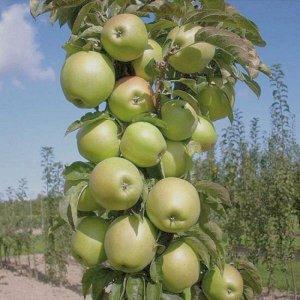 Яблоня Икша колоновидная