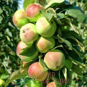 Яблоня Приокское колоновидная