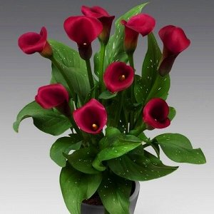 Калла Цвет: Red. Вид: Pot.  Высота растения 25-45 см