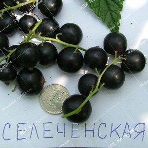 Черная Смородина Селеченская (1 летний саженец )
