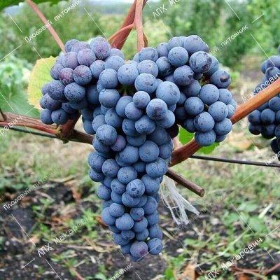 ЛПХ Макаревич-2021-4 Лучшие саженцы в Приморском крае — Виноград — Плодово-ягодные