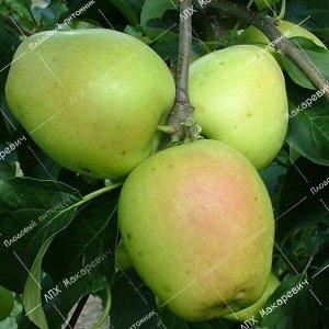 Яблоня Розмарин Зеленый (1 летний саженец )