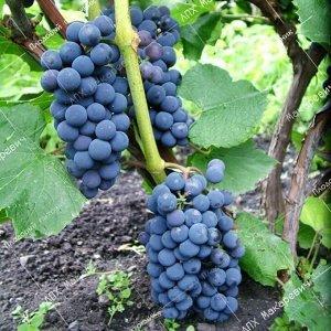 К/с виноград Альфа (2-х летний саженец )