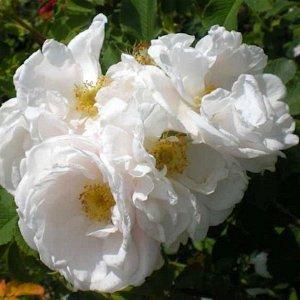 Kakwa Гибрид Spinosissima (Scots) Гибрид розы колючейшей (Rose spinosissima). Цветки диаметром 5-7 см, полумахровые, в небольших соцветиях, издали кремово-белые с жёлтыми тычинками, вблизи заметен лёг