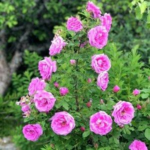 Wasagaming Гибрид Rugosa Гибрид розы ругозы (R. rugosa). Цветки диаметром 7-9 см, махровые (36 лепестков), розово-сиреневые, очень ароматные, в соцветиях по 1-3. Цветение однократное, длительное, очен