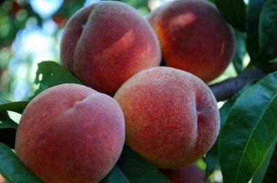 Саженцы плодовые, декорат, гортензии - все в наличии!  — Персики — Плодово-ягодные