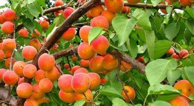 Саженцы плодовые, декорат, гортензии - все в наличии!  — Абрикосы — Плодово-ягодные
