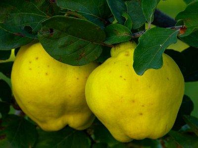 Саженцы плодовые, декорат, гортензии - все в наличии!  — Айва — Плодово-ягодные