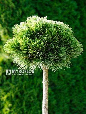 Сосна белокорая Контейнер / ком C2 stem 40 cm.; Упаковка без уп. | Декоративноцветущие луковицы, рассада и саженцы