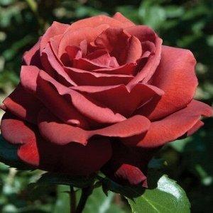 Роза Чайно-гибридная Терракота (Код: 17251)