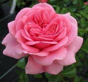 Роза Чайно-гибридная Хом энд Гарден (Код: 17233)