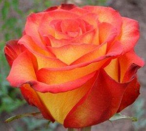 Роза Чайно-гибридная Циркус (Код: 6137)