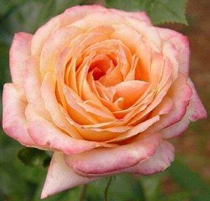 Роза Чайно-гибридная Янки Дудль (Код: 17226)
