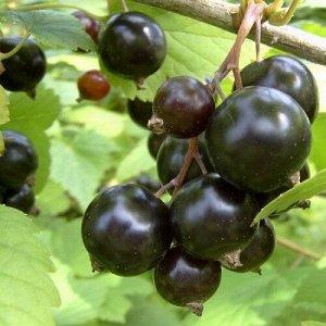 Смородина черная Сибилла (Код: 87391)