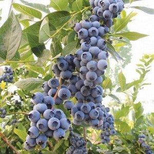 Голубика садовая Дюк P9 (Код: 87411)