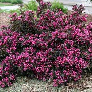 Вейгела цветущая Нана Пурпуреа P9 (Код: 87433)
