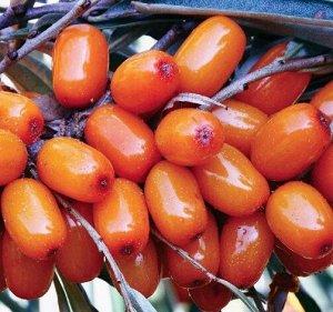 Облепиха Алтайская сладкая (Код: 87388)